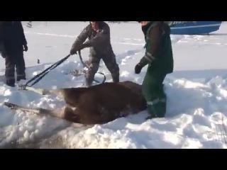 Мужики спасли лося, провалившегося в прорубь